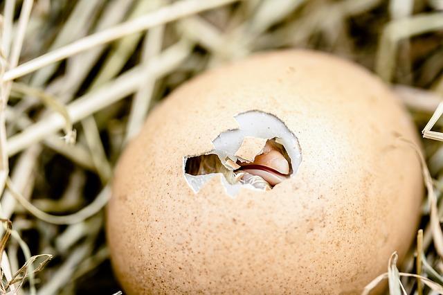 incubadoras huevos