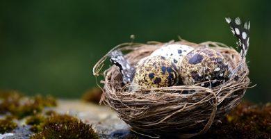 incubar huevos de codorniz