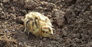incubadoras para huevos de perdiz