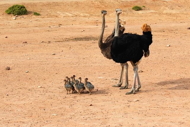 incubar avestruz