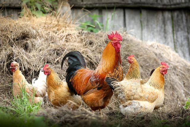 crianza de pollos en granja