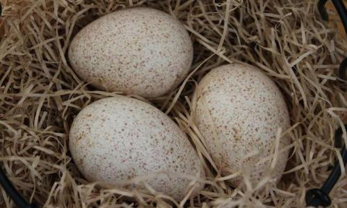 incubacion huevos de pavo