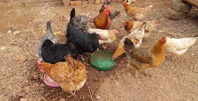 granja ecológica gallinas